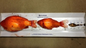 goldfish-in-alberta